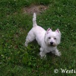 Westie Cluj - Maxy