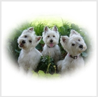 Canise Westie
