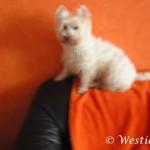 Westie Cluj - Lisa