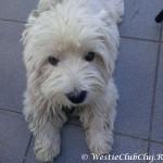 Westie Cluj - Lucky 2