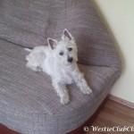 Westie Cluj - Fifi