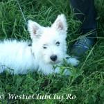 Westie Cluj - Oliver