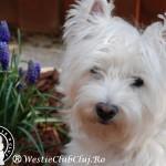 Westie Oradea - Cindy