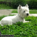 Westie Aghires CLUJ - Max