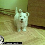 Westie Cluj - Smiley