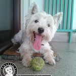 Westie Cluj - Smiley