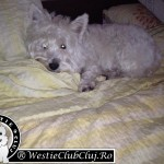 Westie Cluj - Happy