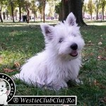 Westie Cluj - Scotty