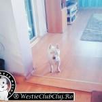 Westie Cluj Floresti - Riki