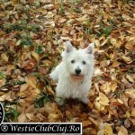 Westie Cluj - Pitty