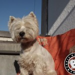 Westie Cluj - Scotch
