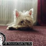 Westie Cluj - Tessa