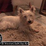 Westie Cluj - Maya