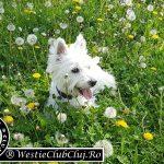 Westie Cluj - Toby