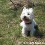 Westie Cluj - Hugo