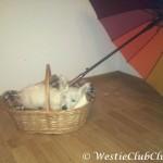 Westie Cluj - Pif