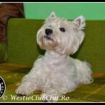 Westie Cluj - Kenzo