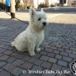 Westie Cluj - Sticy