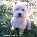 Westie Cluj - Snoopy