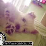 Westie Cluj Floresti - Sissy