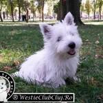 Westie Cluj - Scotty