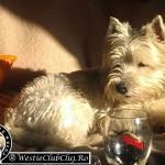 Westie Cluj - Toto