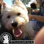Westie Cluj - Puppy