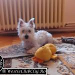Westie Cluj - Milly