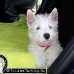 Westie Cluj - Ronnie