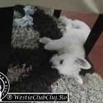 Westie Cluj - Mihai Viteazu - Snoopy