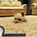 Westie Cluj - Philip