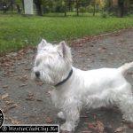 Westie Cluj - Lucky
