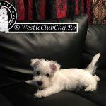 Westie Cluj-Floresti - Rocky