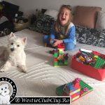 Westie Cluj - Toodle